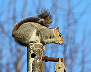 Terri Waters Photo Posters - Pole Dancing Squirrel Poster by Terri  Waters