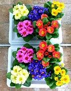 Primroses Digital Art - Polyanthus Primroses by Will Borden
