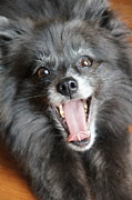 Dog Paintings - Pom Yawn by Megan Cohen