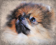 Little Dog Photos - Pomeranian by Jai Johnson