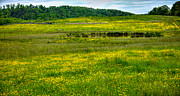 Buttercup Framed Prints - Pond among the Buttercups Framed Print by David Patterson