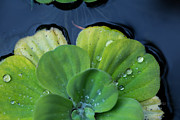 Lettuce Digital Art Framed Prints - Pond lettuce Framed Print by Eti Reid