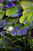 Peter Edles - Pond Lily