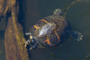 Pond Slider Turtle Print by Rudy Umans