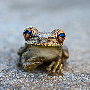 Pondering Photo Prints - Pondering Frog Print by Laura  Fasulo
