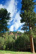 Mary Lee Dereske - Ponderosa and Cliffs in the Jemez Mountains New Mexico