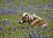 Bluebonnet Wildflowers Posters - Pony in bluebonnets Poster by Elena Nosyreva
