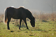 Fine Art Photography Paintings - Pony On A Misty Morning by Renee Forth Fukumoto