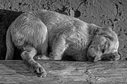 Puppy Digital Art Metal Prints - Pooped Puppy bw Metal Print by Steve Harrington