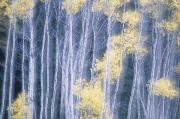 Poplar Forest Photo Metal Prints - Poplar Trees In Autumn, Grey Creek Metal Print by Kari Medig