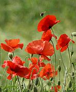 Signed Photo Posters - Poppies 1 Poster by Carol Lynch