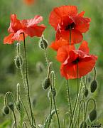 Signed Photo Posters - Poppies 2 Poster by Carol Lynch