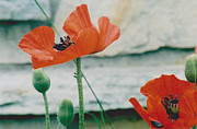Jackie Mueller-Jones - Poppies - 2