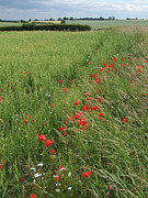 Cornfield Photos - Poppies and Cornfield by Phil Banks