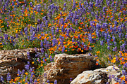 Neverland Posters - Poppies and Lupines on the Rocks Poster by Lynn Bauer