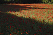 Robert Abramson Art - Poppies and Shadow by Robert Abramson