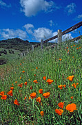 Landscape Greeting Cards Metal Prints - Poppies and the Fence Metal Print by Kathy Yates