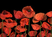 Cslanecphoto Photos - Poppies by Christian Slanec