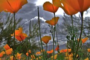 Misty Photos - Poppies