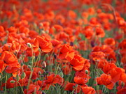 Poppies Field Digital Art - Poppies Galore by Elizabeth Debenham