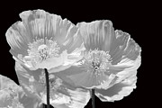Cindy Manero - Poppies in Black and...