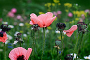 Karen Adams Acrylic Prints - Poppies in Garden Acrylic Print by Karen Adams