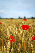 Meadows Photos - Poppies in grain field by Elena Elisseeva