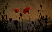 Sandra Roeken - Poppies in the evening