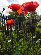 Stephen Norris - Poppies in the Sun