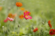 Orange Photos - Poppies in the Wind by Rebecca Cozart