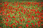 Remembrance Photos - Poppies in wheat by Elena Elisseeva