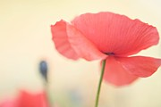 Most Popular Photo Posters - Poppies Poster by Kim Fearheiley