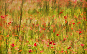 David Letts - Poppies of Tuscany
