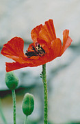 Jackie Mueller-Jones - Poppy - 1