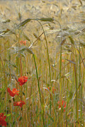Norman Hall - Poppy and Wheat Fields