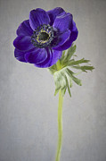 Flora Art Prints - Poppy Anemone Print by Jacky Parker