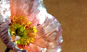 Manuscript Digital Art Acrylic Prints - Poppy Art Acrylic Print by Jacqui Martin