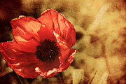 Denise Harrison - Poppy