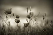 Rossen Nickolov - Poppy Field BW