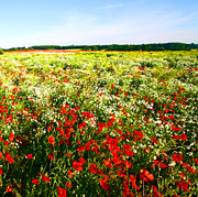 Field Photographs Posters - Poppy field in summer Poster by Craig Brown