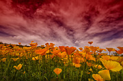 Golden Flowers Metal Prints - Poppy Fields Forever Metal Print by Saija  Lehtonen