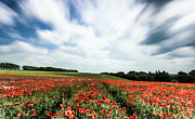 Poppy Fields Posters - Poppy Fields in the wind Poster by Ian Hufton