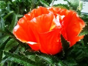 Green Day Digital Art - Poppy flower by Heather L Giltner