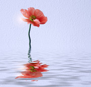 Floral Photography Posters - Poppy flower in water Poster by Kristin Kreet