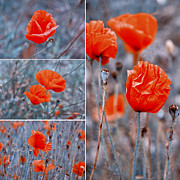 Natural Photos - Poppy Flowers by Sabine Jacobs
