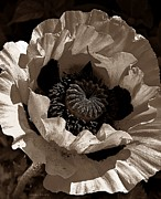 Nature Center Prints - Poppy in Browns Print by Chris Berry