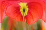 Debbie Hartley - Poppy IV