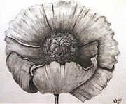 Poppy Drawings - Poppy by Khris Perry