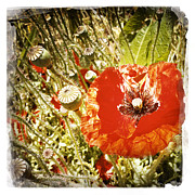 Pretty Wildflower Prints - Poppy Print by Les Cunliffe