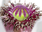 Papaver Orientale Prints - Poppy Macro 2 Print by Sharon  Talson